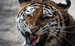 Экологи в Приморье провели расследование гибели трех амурских тигров