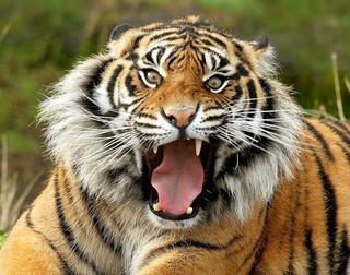 Тигрица Роскошь передана в зоо-центр Юдина В.Г. в Приморье