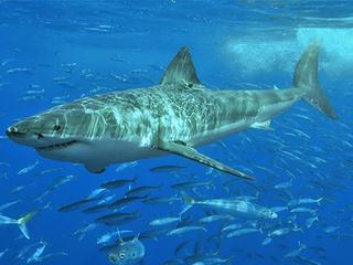 За акулой-людоедом охотятся экипажи девяти судов