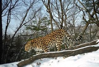 На территории заказника «Леопардовый» обнаружены останки дальневосточного леопарда