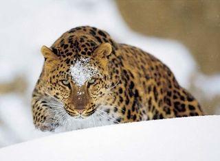 Леопарды живут на территории частного оленьего парка