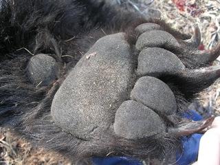 Браконьеры продолжают вывозить медвежьи лапы из Приморья в КНР