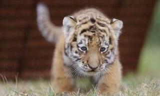 Тигренок, найденный охотниками, идет на поправку