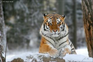 Сотрудники экспедиции завершили первый этап учета амурских тигров