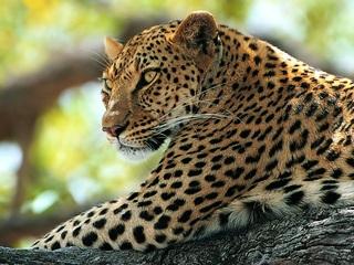 Учеными расставлено 60 фотоловушек на дальневосточного леопарда
