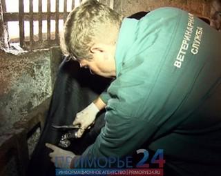 В Приморье захоронят 165 зараженных ящуром коров