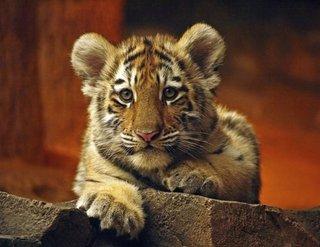 Брат спасённого в Приморье тигренка умер, несмотря на ветпомощь
