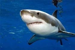 Приплывут ли акулы в Приморье этим летом?