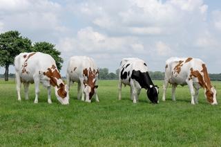 В Приморский край завезут более тысячи коров новой высокопроизводительной породы